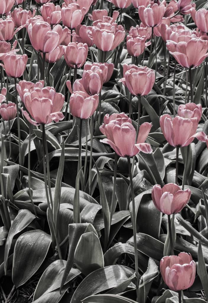 Tulipanes_Fotografía_María Jesús Mora_Arquitecto (10)