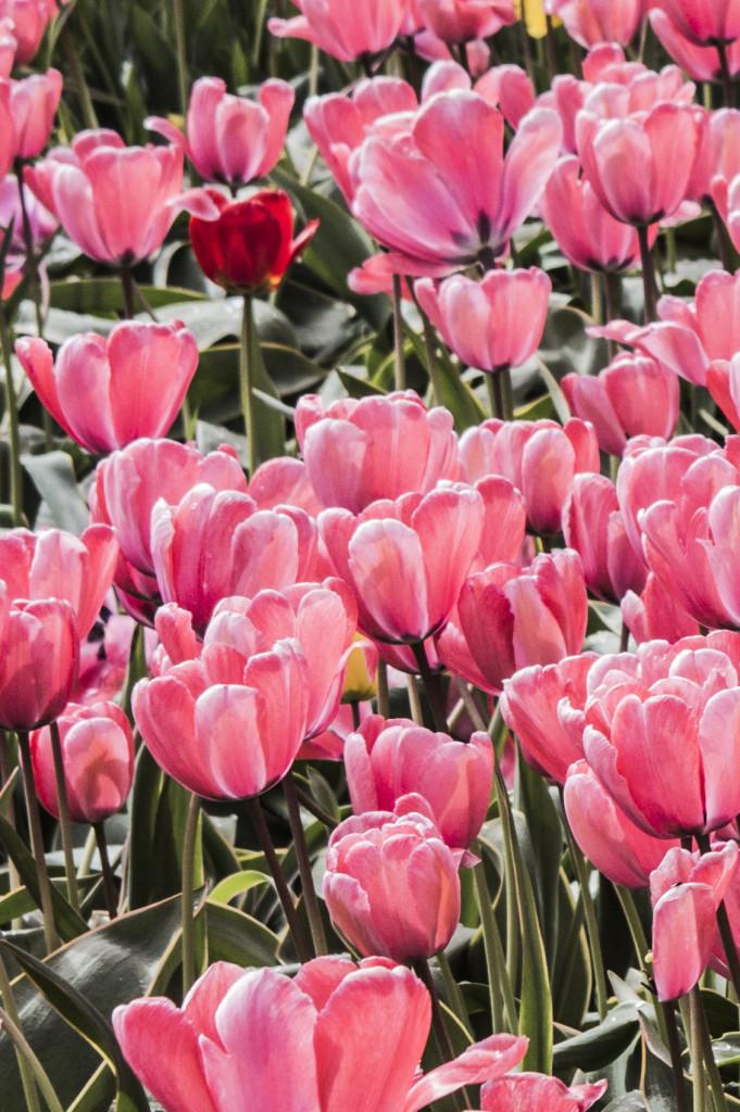 Tulipanes_Fotografía_María Jesús Mora_Arquitecto (11)