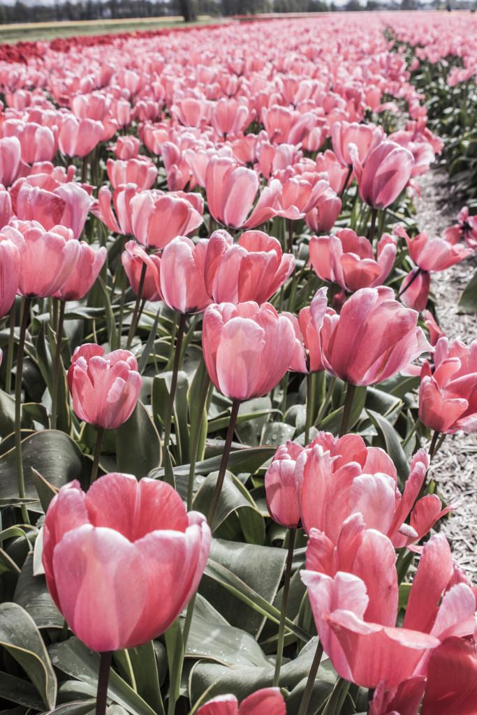 Tulipanes_Fotografía_María Jesús Mora_Arquitecto (16)