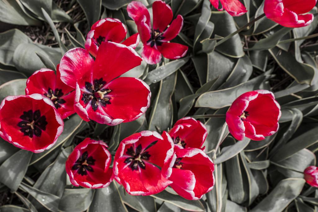 Tulipanes_Fotografía_María Jesús Mora_Arquitecto (17)
