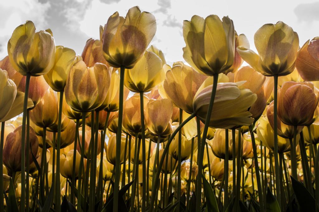 Tulipanes_Fotografía_María Jesús Mora_Arquitecto (18)
