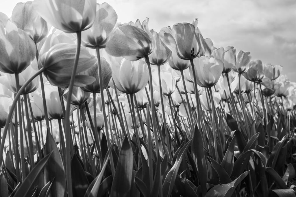 Tulipanes_Fotografía_María Jesús Mora_Arquitecto (19)