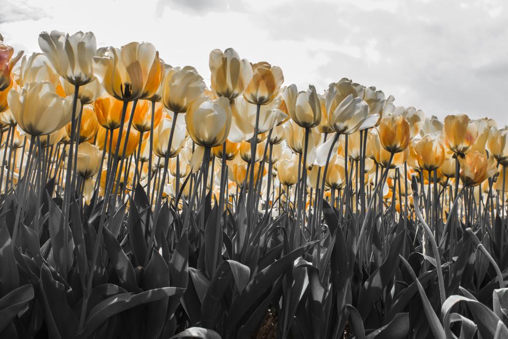 Tulipanes_Fotografía_María Jesús Mora_Arquitecto (20)