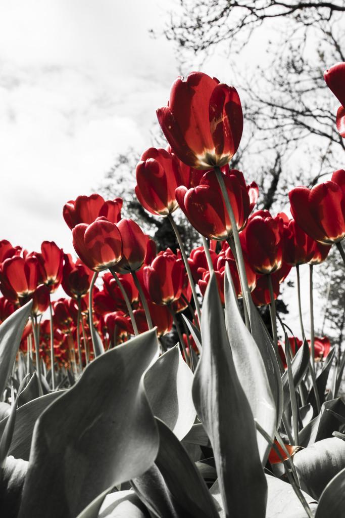 Tulipanes_Fotografía_María Jesús Mora_Arquitecto (22)