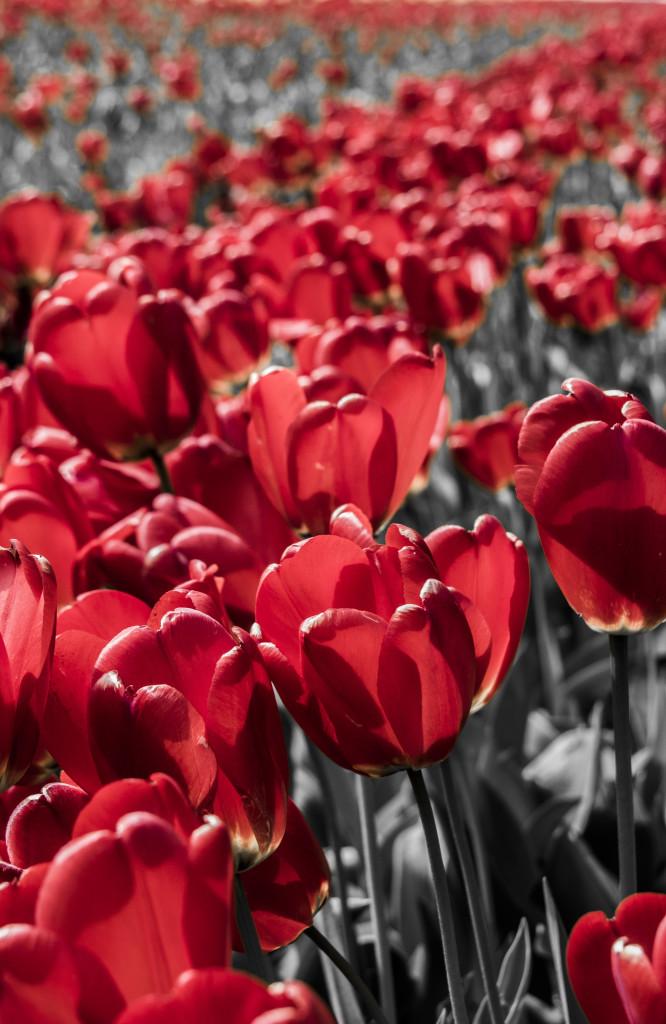 Tulipanes_Fotografía_María Jesús Mora_Arquitecto (23)