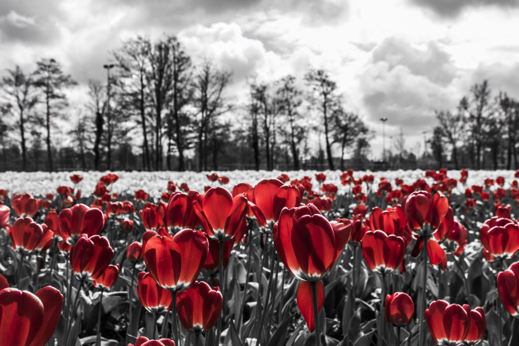 Tulipanes_Fotografía_María Jesús Mora_Arquitecto (24)