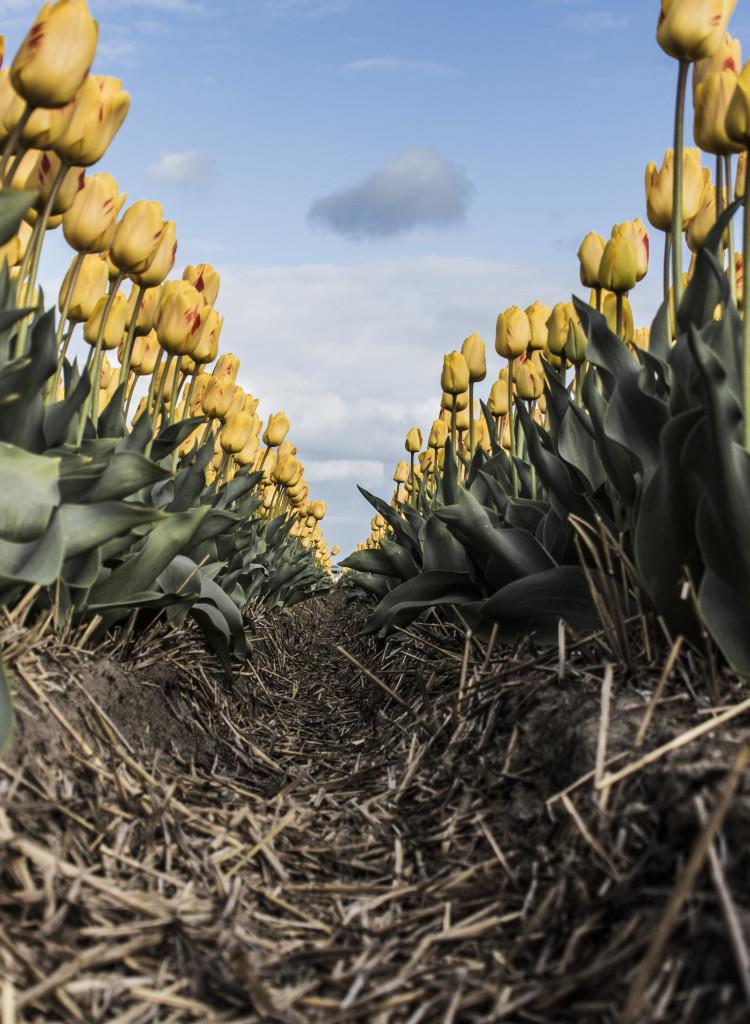 Tulipanes_Fotografía_María Jesús Mora_Arquitecto (27)