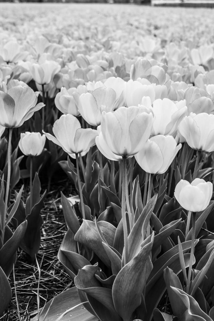 Tulipanes_Fotografía_María Jesús Mora_Arquitecto (4)