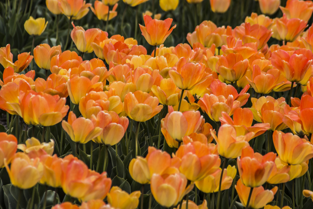 Tulipanes_Fotografía_María Jesús Mora_Arquitecto (5)