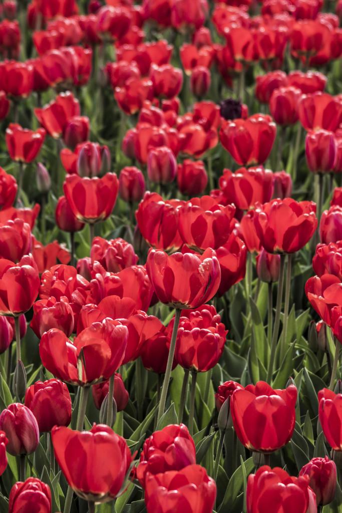 Tulipanes_Fotografía_María Jesús Mora_Arquitecto (6)