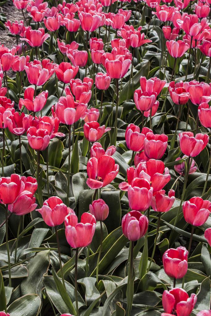 Tulipanes_Fotografía_María Jesús Mora_Arquitecto (8)